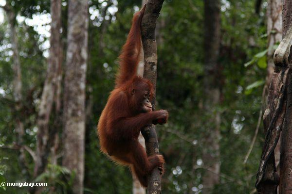 A young orangutan in Indonesian Borneo's Tanjung Puting National Park. Photo by Rhett A. Butler