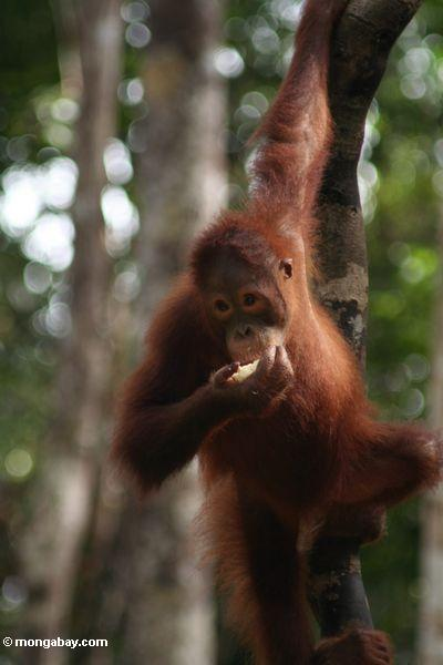 A young orangutan feeds on fruit. Genetic testing offers a simple solution to potential hybridization hazards, but that solution is currently being hampered by bureaucratic and technical obstacles. After testing, orangutan subspecies could be returned to the region matching their genetics. Photo by Rhett A. Butler