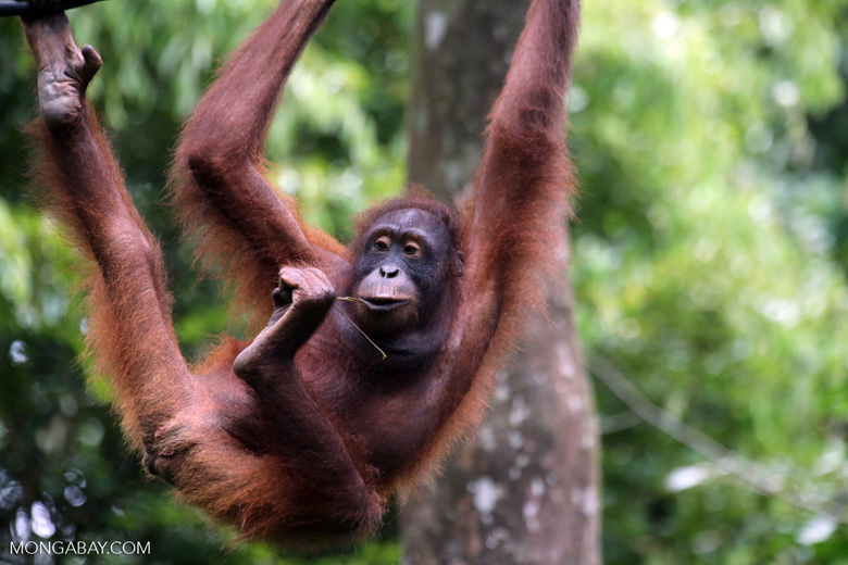A Bornean orangutan in a rehabilitation center in Sabah. Photo by Rhett A. Butler