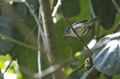 Orange-bellied Antwren_CA
