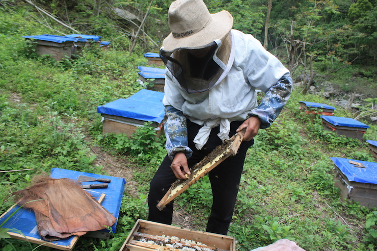 A Guanba beekeeper checks the spring swarming of his bees in April 2016. Photo by Wang Yan.