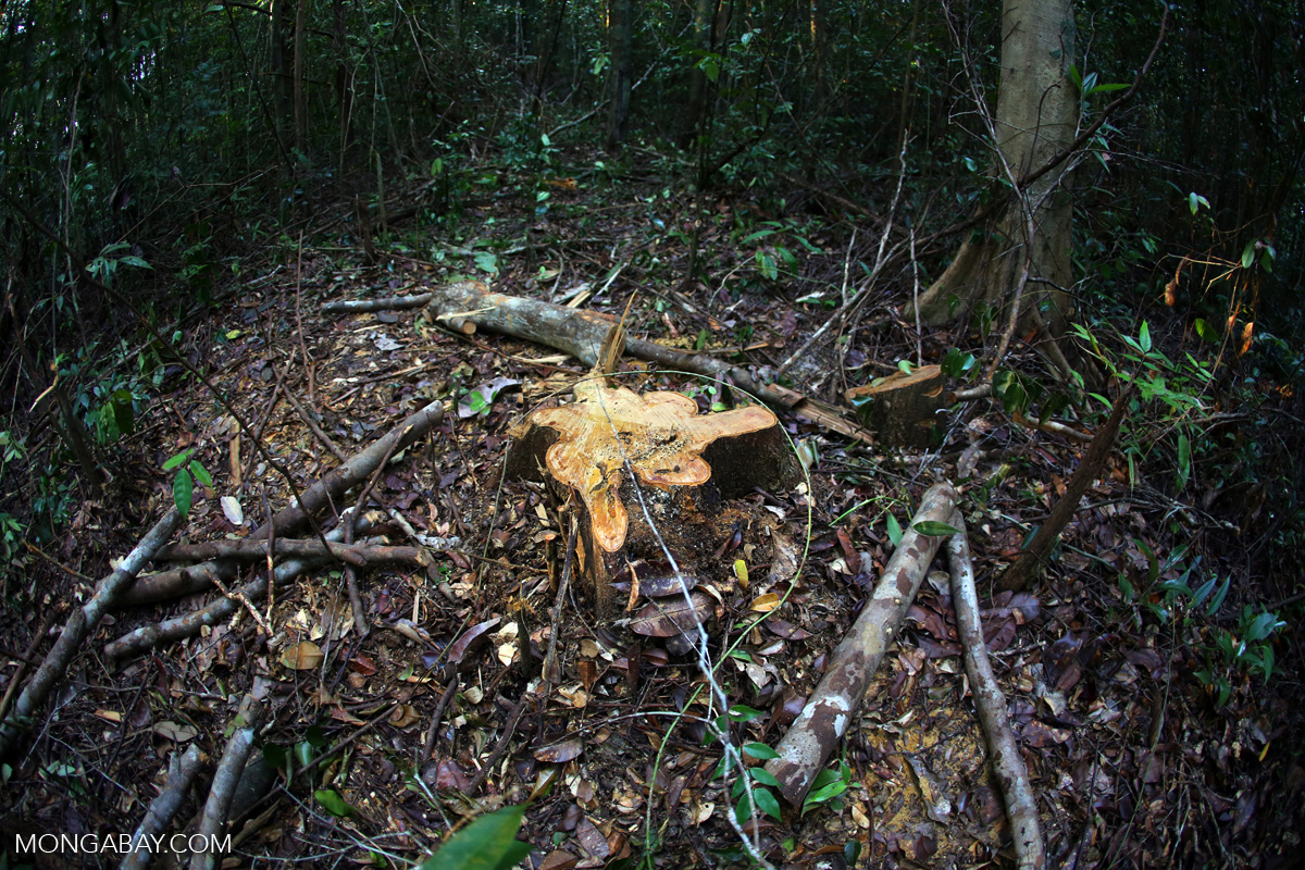 The stump of an illegally logged tree in Indonesia's Central Kalimantan province. Photo by Rhett A. Butler/Mongabay