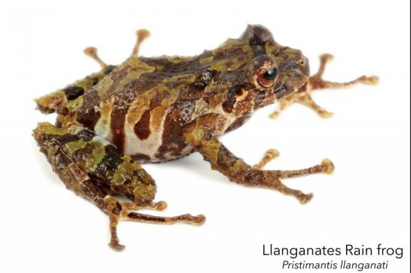 Two-new-rain-frog-species-found-in-ancient-Inca-1