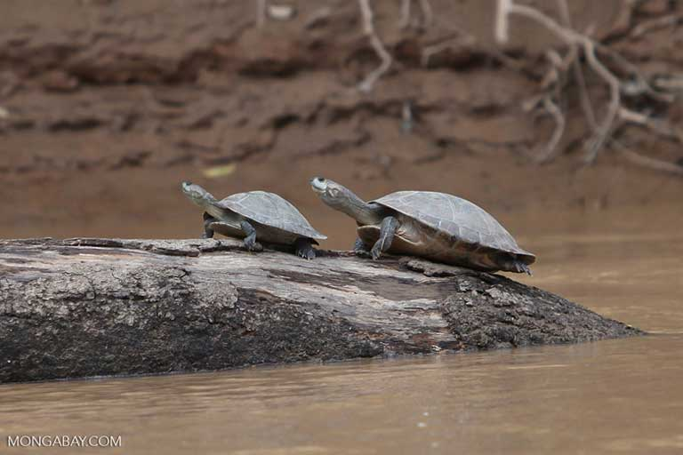 River turtles in Colombia. Turtles, dolphins and otters are among the aquatic species threatened by dam construction, but risks extend to birds, bats and terrestrial animals too. Photo by Rhett A. Butler