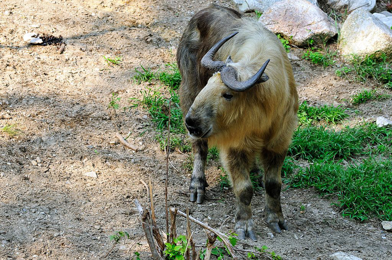 Takin (Budorcas taxicolor). Photo by Gregory Moine/Wikimedia Commons.