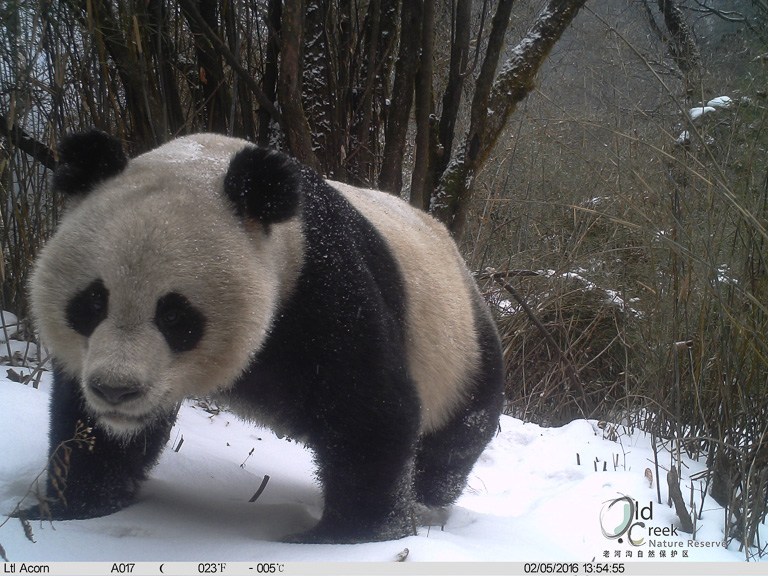 Giant panda photographed by a camera trap inside the Laohegou forest reserve, not far from Wanglang reserve in Sichuan province. Photo courtesy of Laohegou Nature Reserve Center.