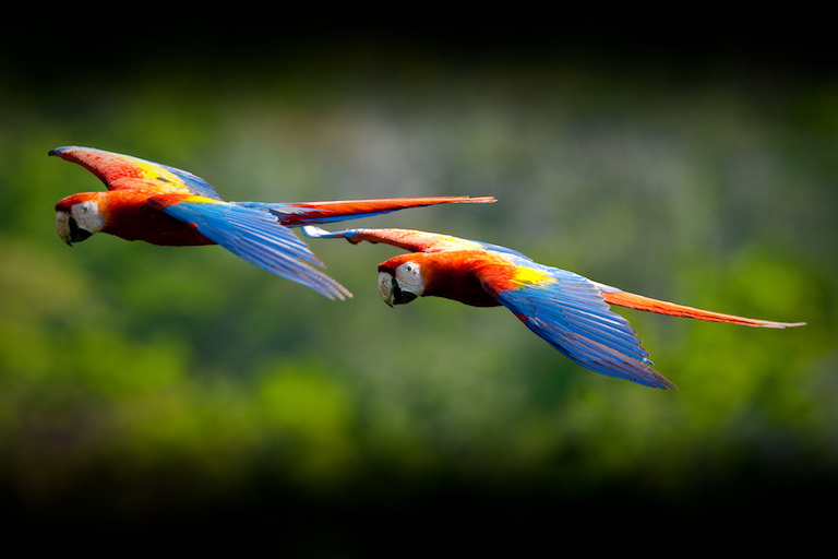 Scarlet macaws in the Maya Biosphere Reserve. Photo by USAID Guatemala/Flickr.