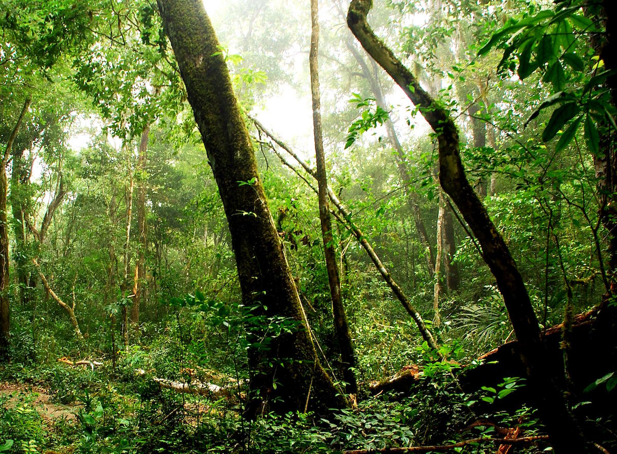 Rainforest in the Maya Biosphere Reserve. Photo by Charlie Watson, USAID/Public Domain Images.