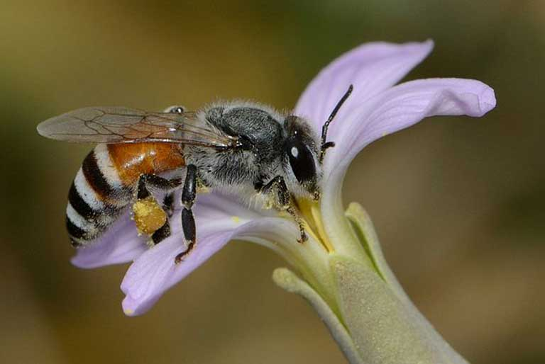A dwarf honey bee (Apis florea). The study of the impacts of carbon dioxide levels on plant nutrition has barely begun to be studied. As CO2 levels rise we are moving into uncharted territory. Photo by Gideon Pisanty (Gidip) licensed under the Creative Commons Attribution 3.0 Unported license