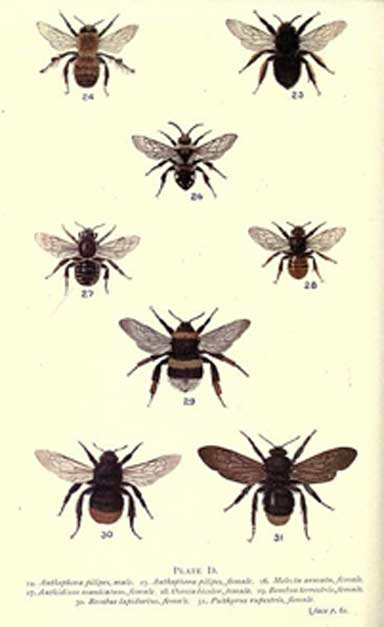 Native bees, wasps, butterflies, moths, flies and other wild pollinators are vital to the world's agriculture and to ecosystems. No one knows for certain how rising carbon dioxide levels and corresponding falling protein levels in plants will impact these species long term. Image by Edward Sanders courtesy of the Biodiversity Heritage Library
