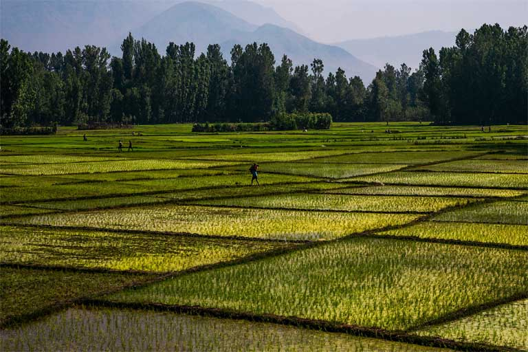 Rice fields in Kashmir, India. Staple crops such as rice and wheat are forecast to become less nutritious as a result of increasing carbon dioxide levels in the atmosphere. Photo courtesy of sandeepachetan.com travel photography on Flickr under CC BY-NC-ND 2.0 license
