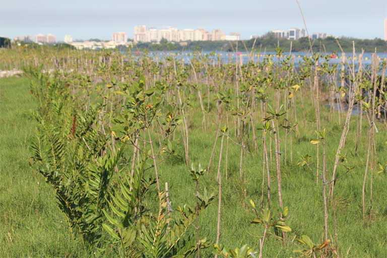 New mangroves planted at the Jacarepaguá Lagoon near the Olympic Park. Rio's Environmental State Secretariat approved a plan to plant 500,000 mangrove seedlings in the years leading up to the Games. But only 30,000 have been planted. Photo by Mário Moscatelli.