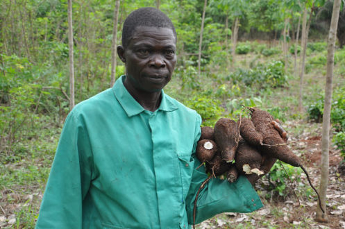 A farmer with cassava harvested from his rubber-based agroforest in Nigeria. Image courtesy World Agroforestry Centre