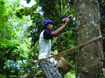 Harvesting dammer resin in Sumatra. Damar agroforests are rich in wildlife. Image courtesy World Agroforestry Centre