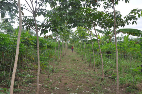 Intercropping rubber and food crops Nigeria. Image courtesy World Agroforestry Centre