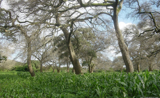 Maize growing under 'fertilizer tree' Faidherbia albida, which fixes nitrogen and provides shade. Image courtesy World Agroforestry Centre
