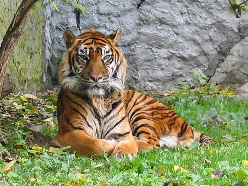 An estimated 400 Sumatran tigers are believed to survive in the wild. Photo by Monka Betley, released under license GFDL.