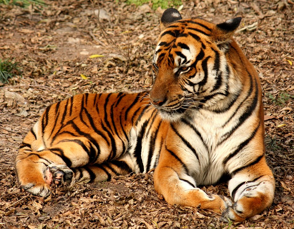 South China tiger at Shanghai Zoo. Photo by J. Patrick Fischer
