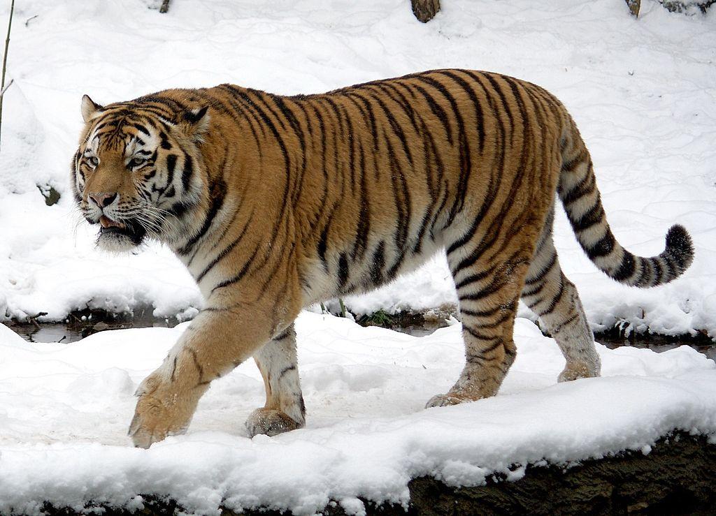 Siberian tiger at Leipzig zoo. Photo by Appaloosa, Wikimedia Commons, License: CC BY-SA 3.0.