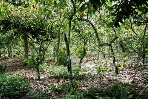 Traditional cacao agroforestry system in Sulawesi. Image courtesy World Agroforestry Centre