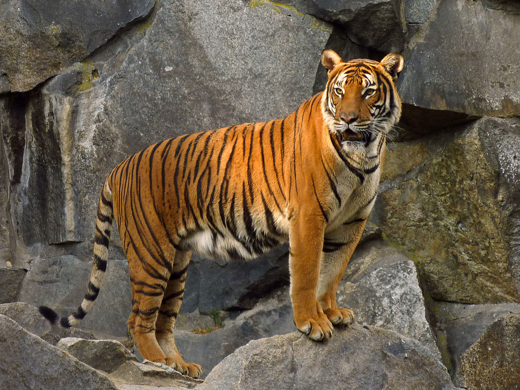 Most populations of the indochinese tiger are small, isolated and not viable. Photo by Lotse, Wikimedia Commons, License: CC BY-SA 3.0.