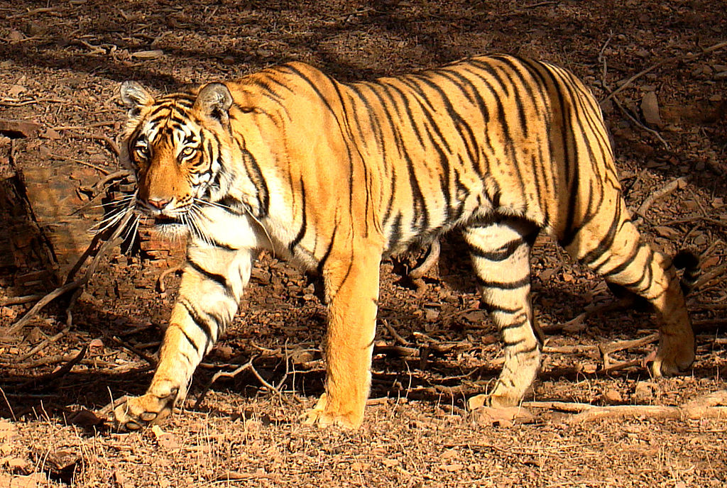 A Bengal tiger Panthera tigris tigris in the wild in Ranthambhore National Park, Rajasthan, India. Photo by Bjørn Christian Tørrissen, Wikimedia Commons, Licence CC BY-SA 3.0.