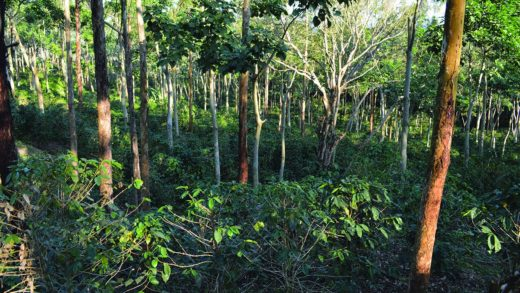Shade grown coffee in Nicaragua. Image courtesy World Agroforestry Centre