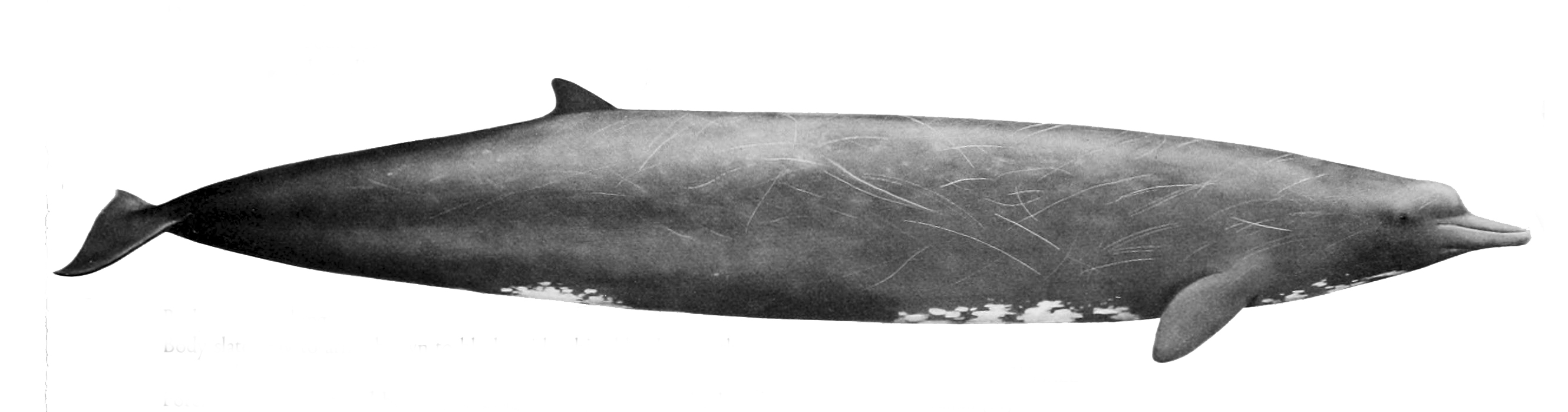 According to the National Oceanic and Atmospheric Administration (NOAA), Baird's beaked whales are capable of diving to depths of 9,840 feet (3,000 meters).
