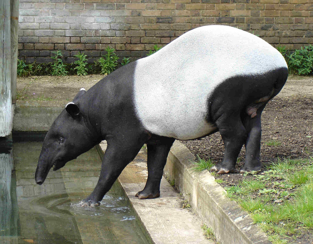 Adult Malayan tapirs have solid coats of black and white/grey. Photo from Wikimedia Commons, CC BY-SA 3.0.