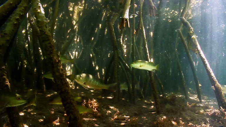 Fish swim among mangrove roots. Photo courtesy of Seacology.