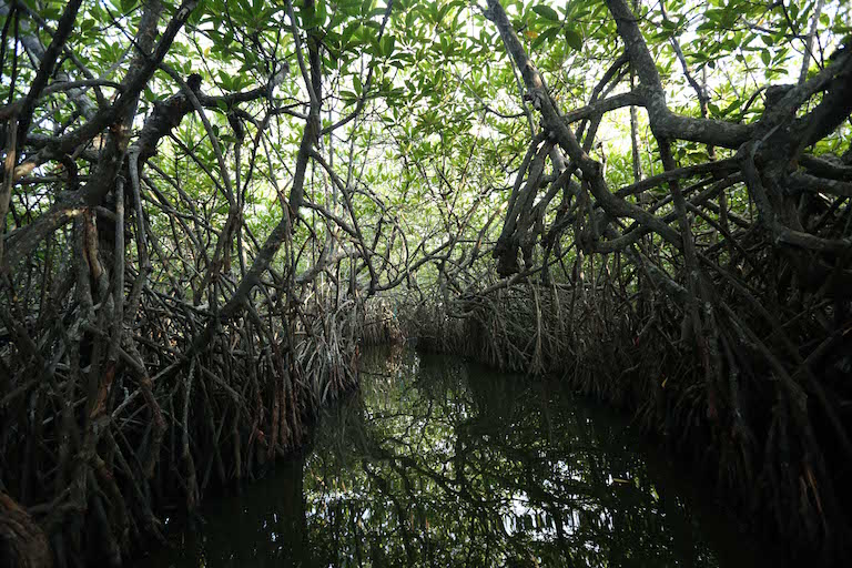 A mangrove forest in Sri Lanka. Photo courtesy of Seacology.