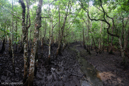 A mangrove forest in Daintree, Australia. Photo by Rhett A. Butler.