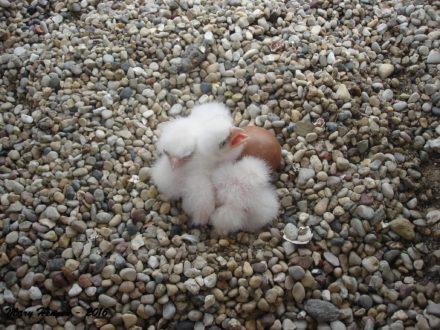 chicks4272016