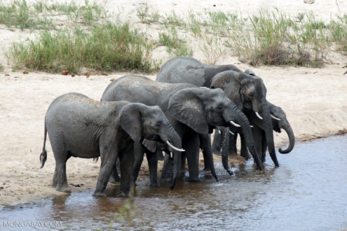 African elephants in Kruger, South Africa. Photo by Rhett Butler.