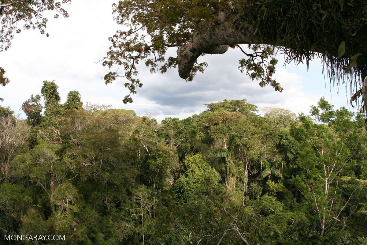 Study drought impedes tree growth shuts down amazon for Canopy of trees