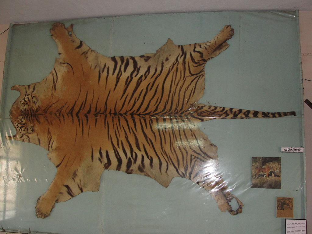 Tiger skins are being sold under codes like dhaariwala chaddar (striped sheet) on e-commerce sites. Photo by Thamizhpparithi Maari, from Wikimedia Commons, CC BY-SA 3.0.