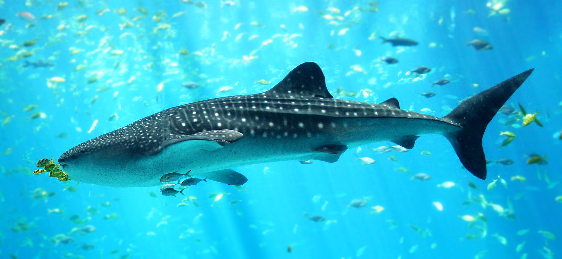 Whale sharks have been up-listed to Endangered on the IUCN Red List. Photo by Zac Wolf, From Wikimedia Commons, CC BY-SA 2.5.