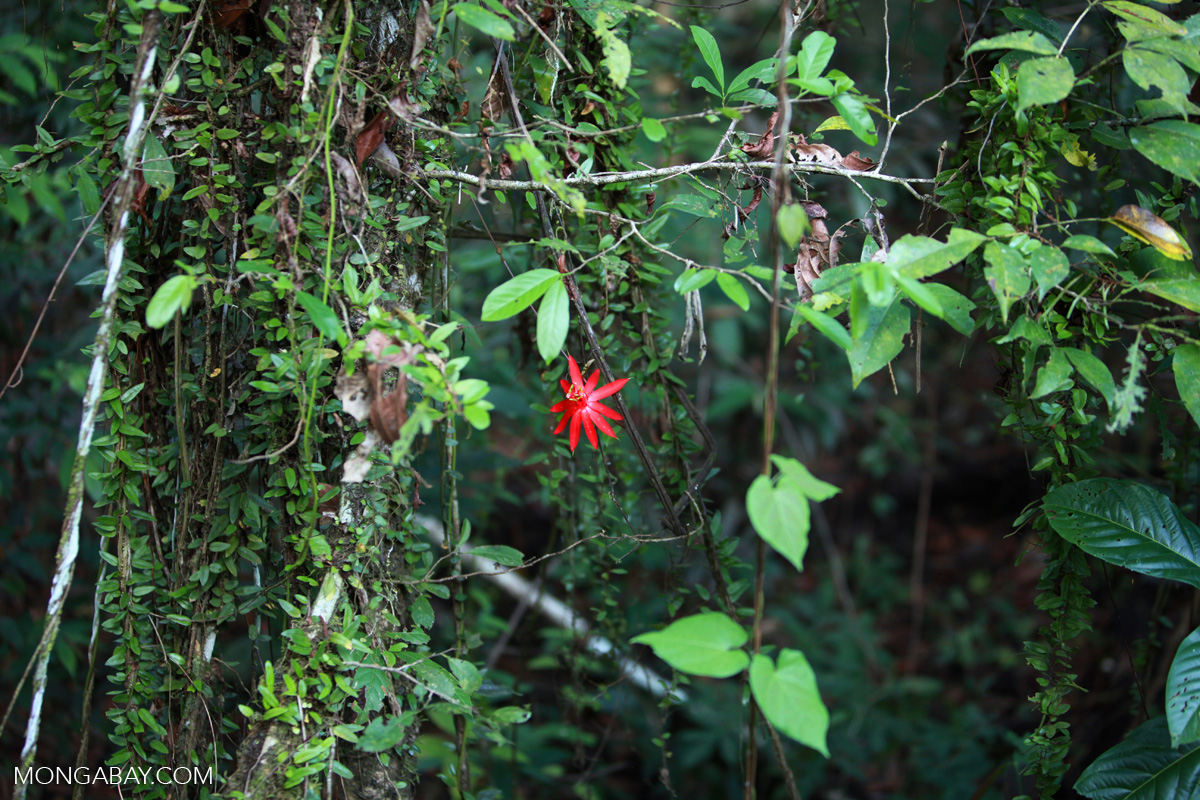 Red passion vine flower in the Amazon rainforest of Colombia. Photo by Rhett A. Butler.