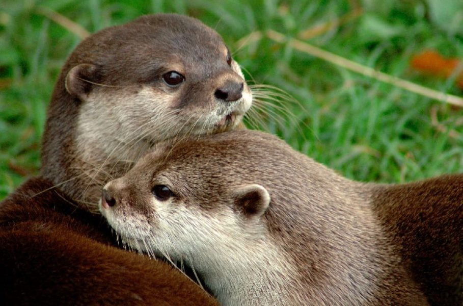 Small-clawed Otters are particularly favored in the pet trade. Photo by Nicole Duplaix.
