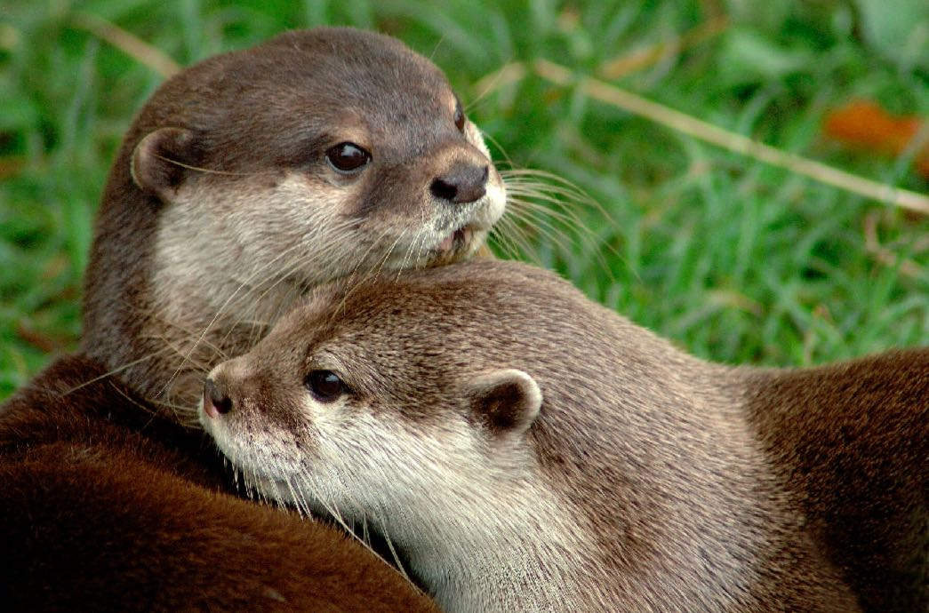 India at heart of illegal otter trade