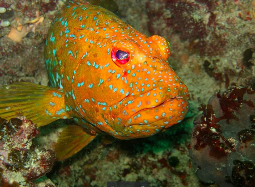 Harlequin fish are endemic to the kelp forests of southwestern Australia. Photo by Thomas Wernberg.