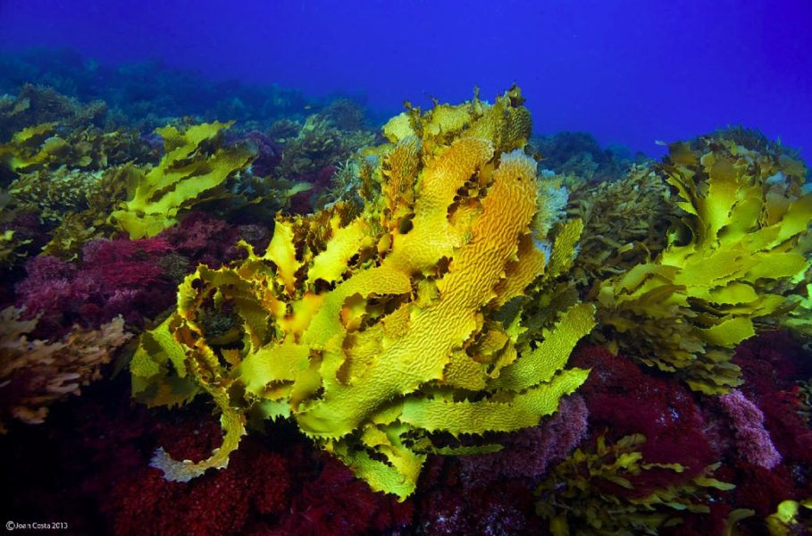 Kelp forests are highly productive communities of large brown seaweed that support rich biodiversity. Photo by Thhomas Wernberg.