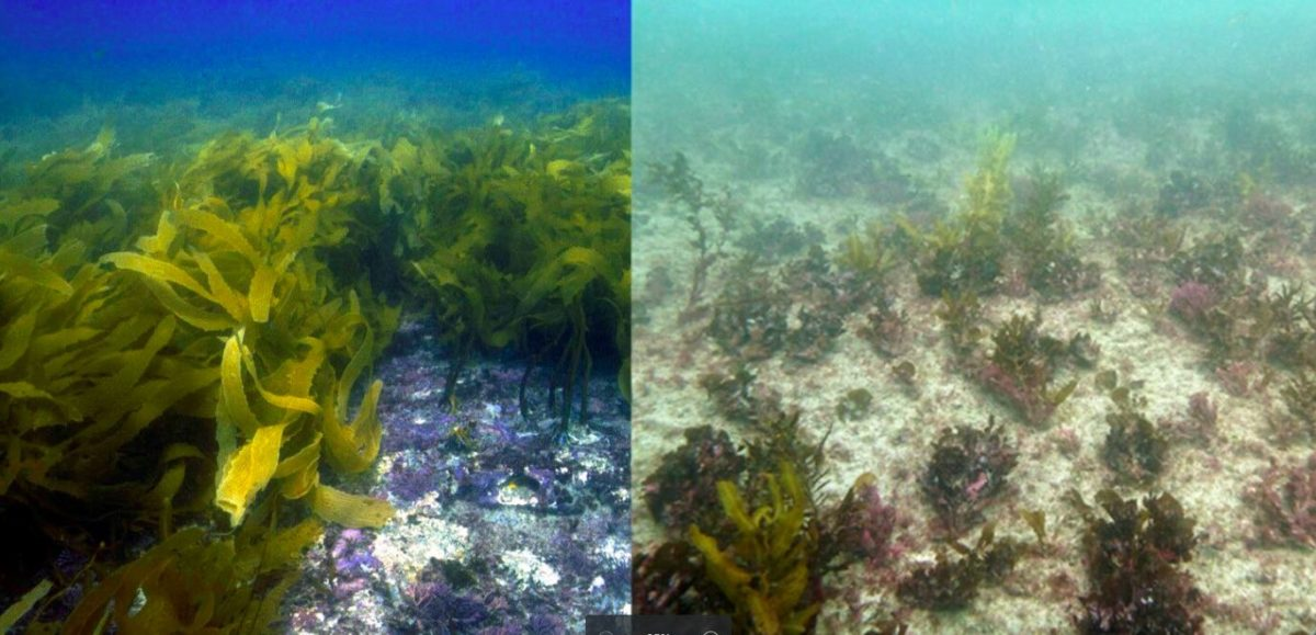 Rocky reefs in Kalbarri before (left) and after (right) the 2011 marine heatwave, which wiped out extensive underwater forests of Australian kelps (Ecklonia radiata). Photo by Thomas Wernberg.