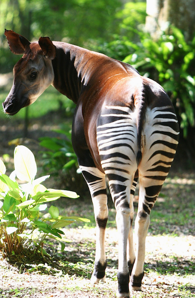 Okapi are related to giraffes and are listed as Endangered by the IUCN. Photo by Terese Hart.