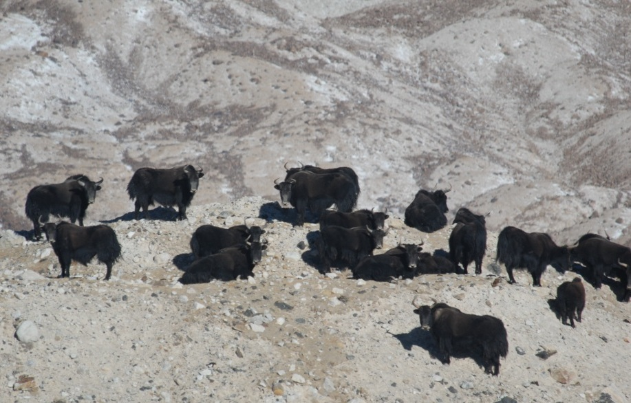 Wild yak females at glacial edge. Photo courtesy, Joel Berger - Wildlife Conservation Society
