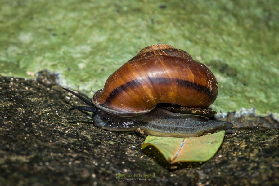 Land snail species seen for first time in 100 years, from photo posted to citizen science website