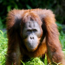 Borneo orangutan. Photo by Rhett A. Butler