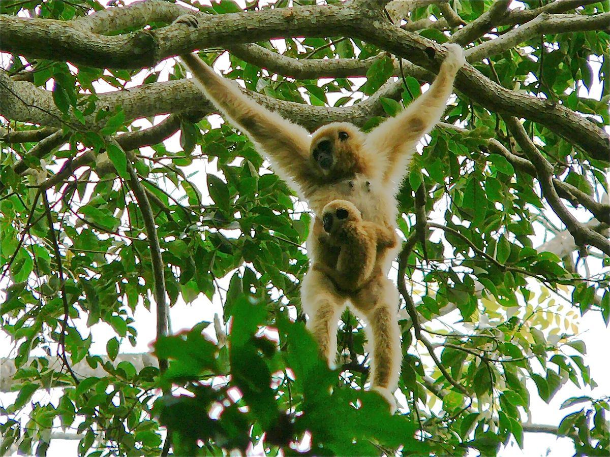 White-handed Gibbon (Hylobates lar) female with baby. Photo by Bernard Dupont. CC BY-SA 2.0,