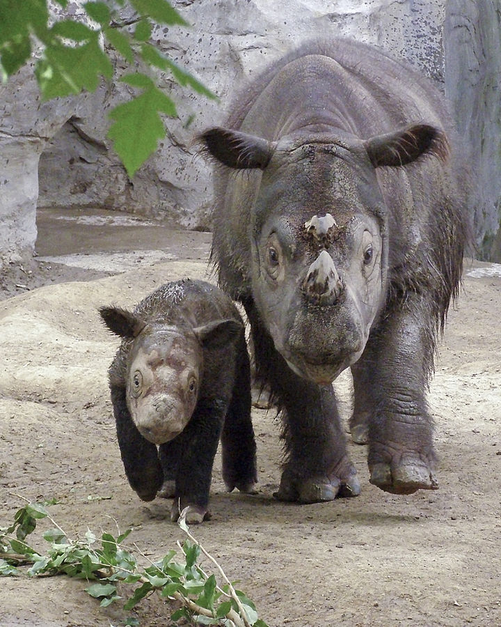 The Sumatran rhino, like the orangutan and tiger, is an example of charismatic megafauna — a species that gets tremendous media exposure and conservation attention, while many other equally threatened species receive little attention. Photo by wAlanb on Flickr CC BY 2.0
