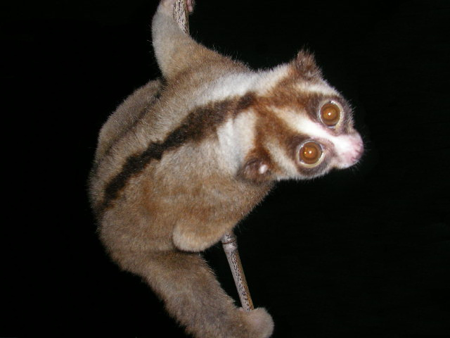 A Javan slow loris (Nycticebus javanicus) Photo by Dr. K.A.I. Nekaris licensed under CC BY-SA 4.0-3.0-2.5-2.0-1.0
